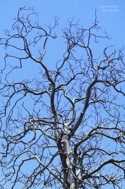 silvertree-1